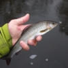 2 years old grayling