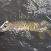 small pike caught on wobbler